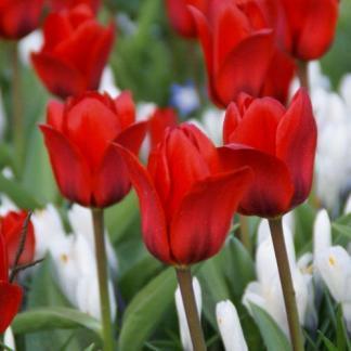 Az alacsony szárú, díjnyertes Tulipa 'Showwinner' - Kaufmanniana tulipán igazi klasszikus tulipánfajta, ami remekül mutat minden tavaszi kertben.