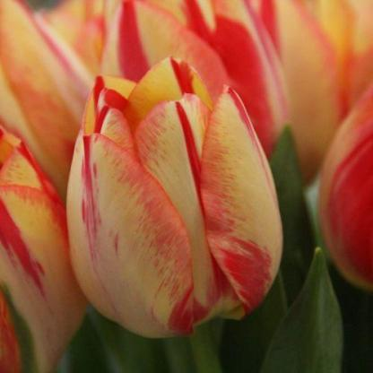 Tulipa 'Spryng Break' - Triumph tulipán