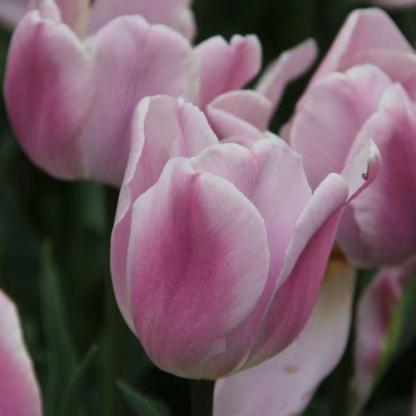 Tulipa 'Synaeda Amor' - Triumph tulipán