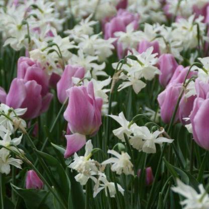 Hideg színű tulipán és nárcisz párosítása