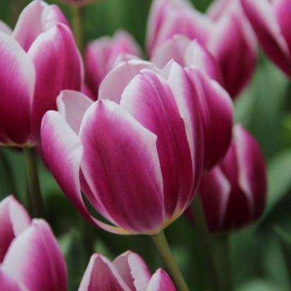 A Tulipa 'Synaeda Blue' - Triumph tulipán lila-fehér színű szirmokból áll.