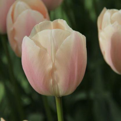A halvány színű Tulipa 'Thijs Boots' - Triumph tulipán kecsességével kitűnik a többi tulipán közül.