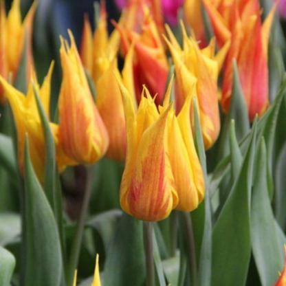 A Tulipa 'Vendee Globe'- liliomvirágú tulipánigazi kedvence lesz az őszi színek kedvelőinek!