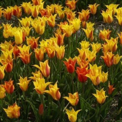 Mindegyik 'Vendee Globe' tulipán más és más színű: a sárgától a pirosig minden színvariációban képes virítani, éppen ezért ajánljuk csoportosan ültetni.