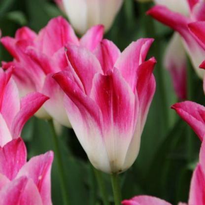 Tulipa 'Whispering Dream' - Triumph tulipán
