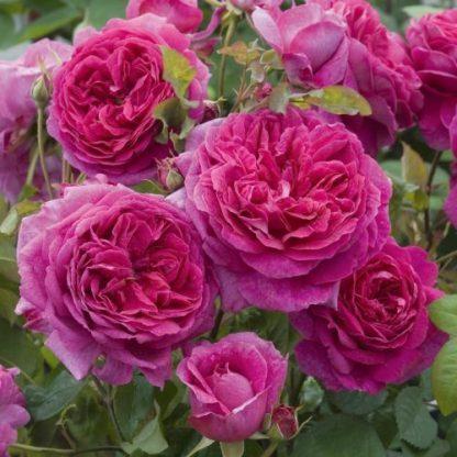 young_lycidas angol rózsa