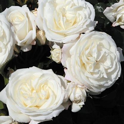 Alabaster fehér ágyás rózsa