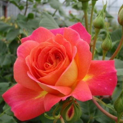 Midsummer - narancssárga nosztalgia floribunda ágyás rózsa