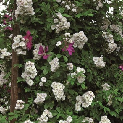 Perennial Blush fehér futórózsa enyhe rózsaszín árnyalattal