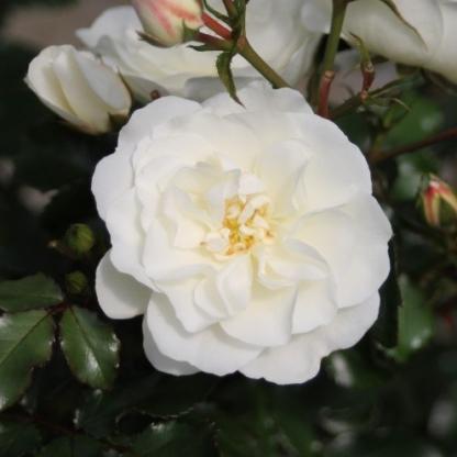 Bounty - fehér talajtakaró rózsa