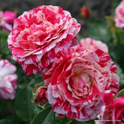 Abracadabra ágyás rózsa