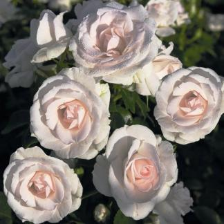Aspirin ágyás rózsa