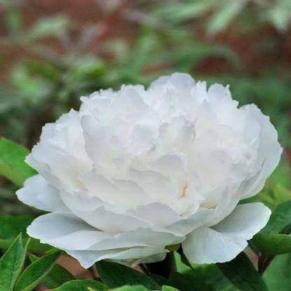Paeonia suffruticosa 'Bai He Wo Xue' - fás szárú bazsarózsa