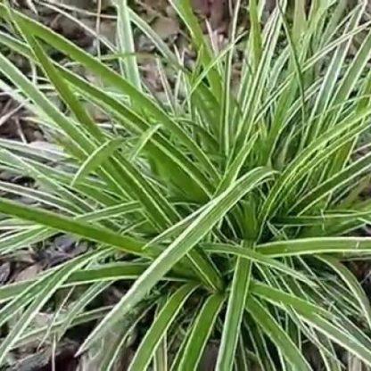 Carex morrowii Ice Dance Fehér tarka sás1