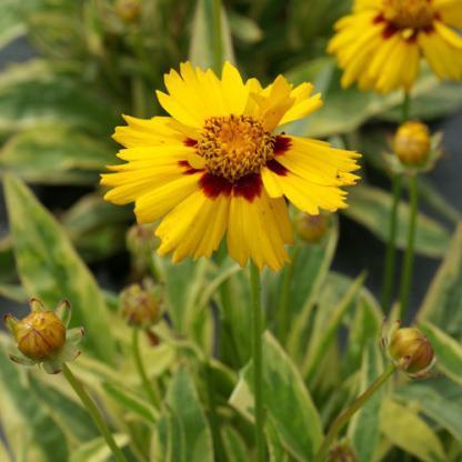 Coreopsis grandiflora calypso-menyecskeszem