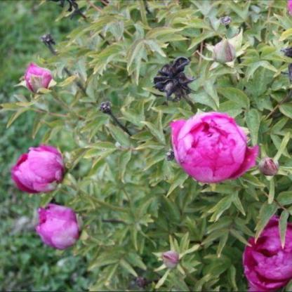 Paeonia suffruticosa 'Da zong zi' - fás szárú bazsarózsa
