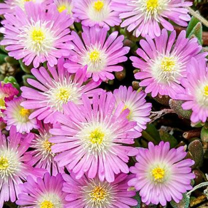 Delosperma-Jewel-of-Desert-rosequartz-delvirag.j