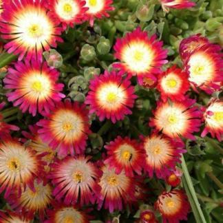 Delosperma Jewel of Desert -ruby-delvirag