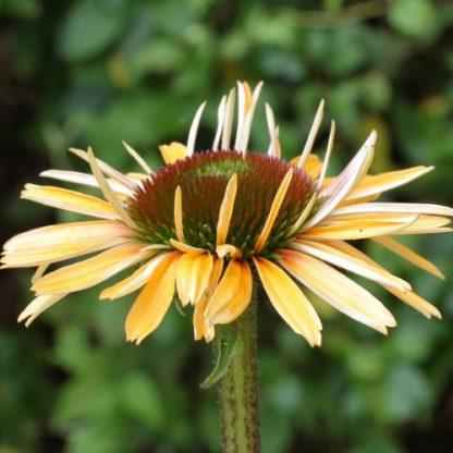 Echinacea 'Funky Yellow' – kasvirág