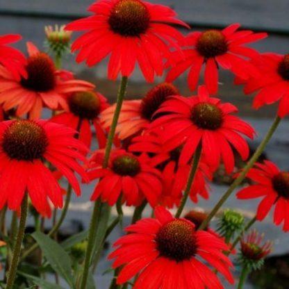 Echinacea-Dixie-Scarlet-kasvirág