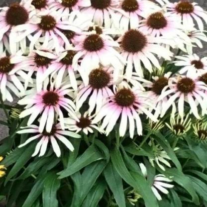 Echinacea-fountain-pink-eye-kasvirag