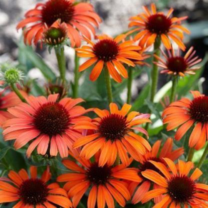 Echinacea-orange-skipper-kasvirag