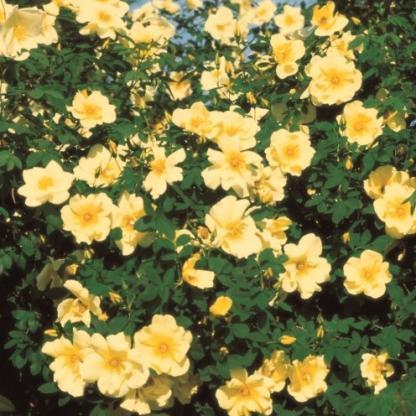 Frühlingsgold sárga vadrózsa