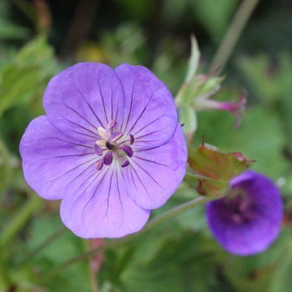 Geranium 'Rozanne' – gólyaorr virága