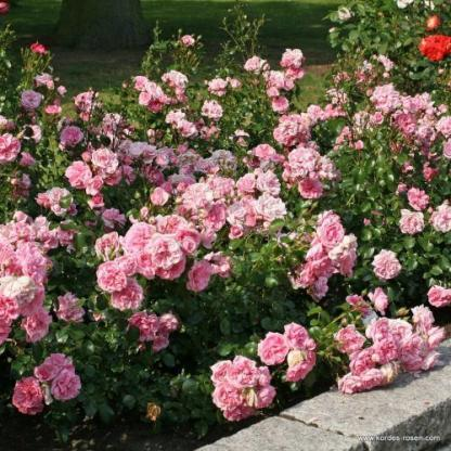 Home and Garden rózsaszínfloribunda rózsa