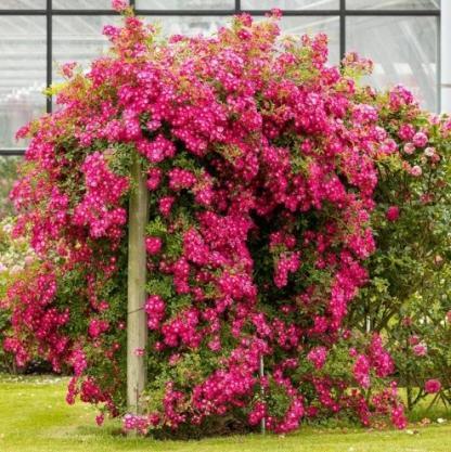 Libertas - élénk rózsaszín futórózsa