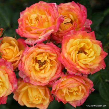 Little Sunset miniatűr rózsa