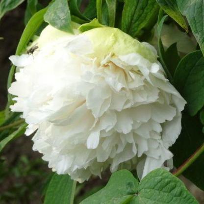 Paeonia suffruticosa 'Lv Mu Yin Yu' - fás szárú bazsarózsa