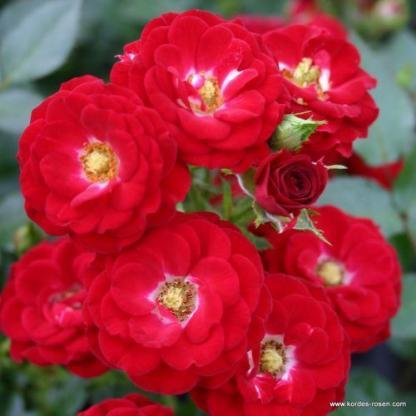 Mandy piros miniatűr rózsa