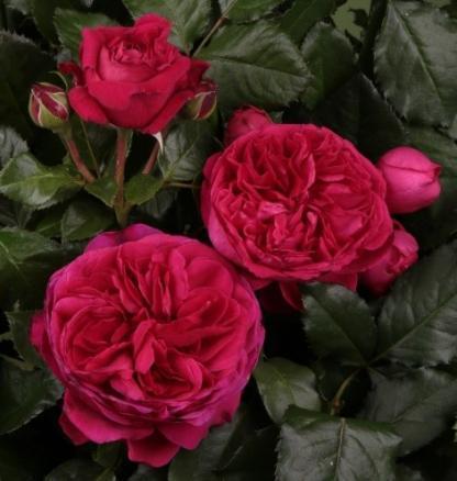 Marietta bordó nosztalgia teahibrid rózsa