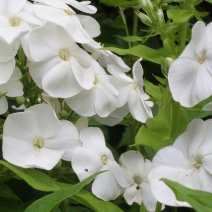 Phlox paniculata 'Sweet Summer White'- bugás lángvirág