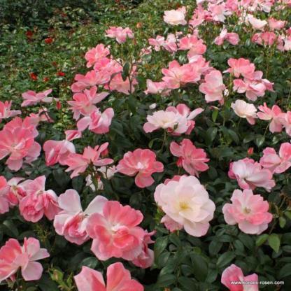Roseromantic floribunda ágyás rózsa