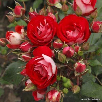 Rosige Landdrostei floribunda ágyás rózsa