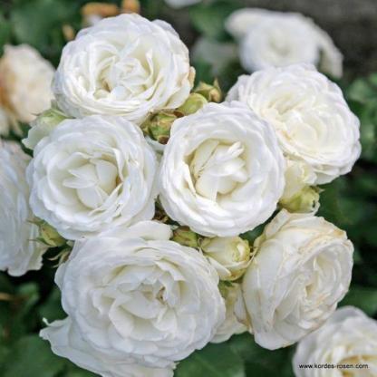 Schneekuesschen fehér miniatűr rózsa
