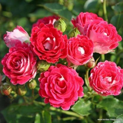 Schoene_Koblenzerin ágyás rózsa