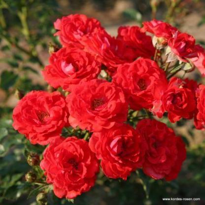 Zwergenfee miniatűr rózsa