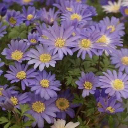 anemone-blanda-blue-shades-csinos-szellőrózsa
