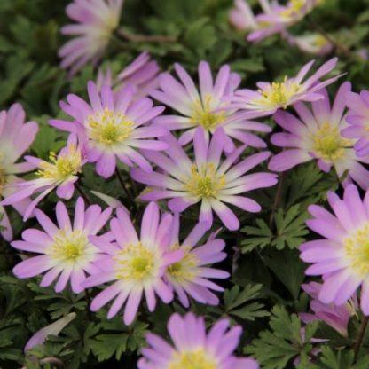 anemone-blanda-charmer-csinos-szellőrózsa