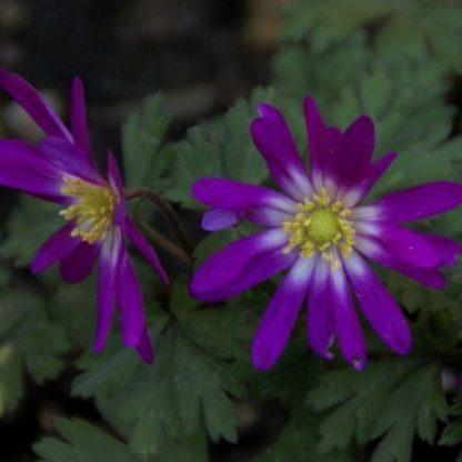 anemone-blanda-radar-csinos-szellőrózsa