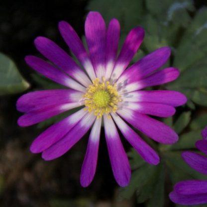 anemone-blanda-radar-csinos-szellőrózsa2