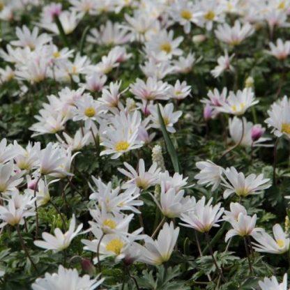 Az Anemone blanda 'White Splendour' - csinos szellőrózsa 10-15 cm magas, fehér szirmú, sárga porzós évelő.