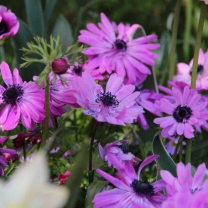 Az Anemone coronaria 'Admiral' 30 cm magas, duplavirágú, lila szirmú, fekete porzós koronás szellőrózsa.
