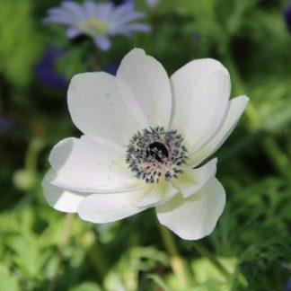 anemone-coronaria-bride-koronás-szellőrózsa