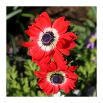 anemone-coronaria-governor-koronás-szellőrózsa