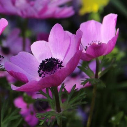 Az Anemone coronaria 'Sylphide' 30 cm magas, egyszerű virágú, lilás-rózsaszín szirmú, fekete porzós koronás szellőrózsa.