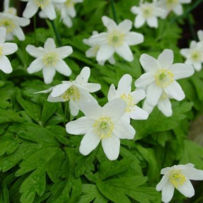 anemone-nemorosa-berki-fehér szellőrózsa